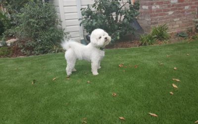 Why An Artificial Turf is Better than Natural Grass for Your Pets